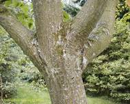 A photo of Snake-Bark Maple