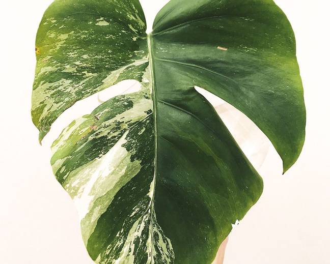 A close up of a variegated Monstera leaf against a white background