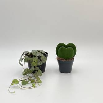 Plant Bundle, Hoya Kerrii Double Leaf, String of Hearts Ceropegia woodii