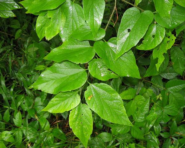 A picture of a Celtis