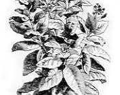 A photo of Tobacco Plant