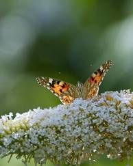 A photo of Buddleia Davidii 'Buzz Ivory'