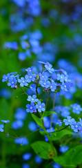 A photo of Perennial Forget-Me-Not