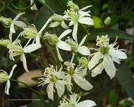 A photo of Erect clematis