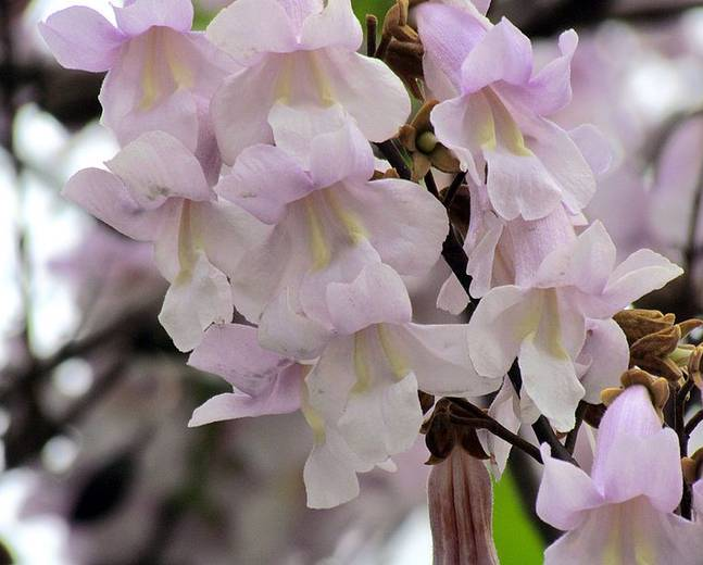 A close up of a Paulownia tomentosa flower