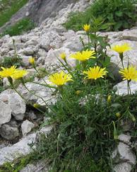 A photo of Rough Hawkbit