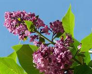 A photo of Lilac
