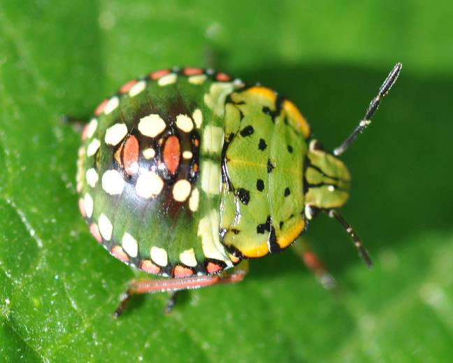 A close up of a Nezara viridula southern green shield bug nymph on a plant