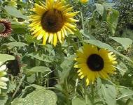 A photo of Beach Sunflower