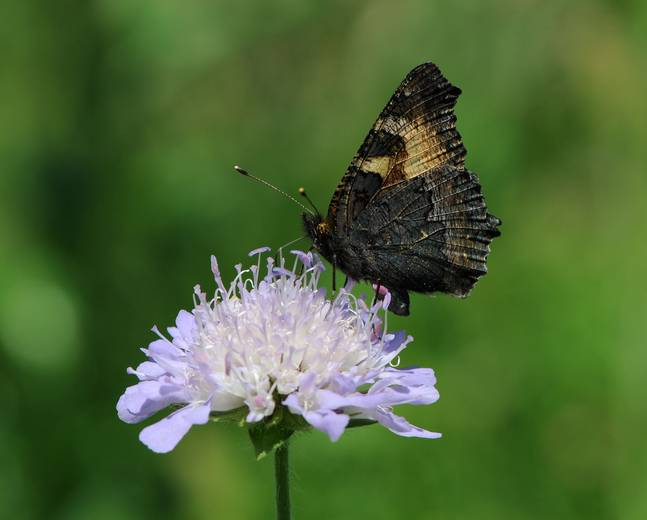 A close up image of small tortoiseshell butterfly Aglais urticae drinking nectar from a purple flower