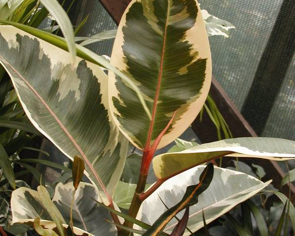 A picture of a Ficus 'Tineke'