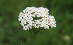 A photo of Common Yarrow