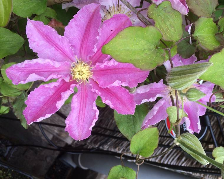 A close up of a pink Clematis flower