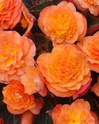 A photo of Begonia 'Peardrop (PBR)'