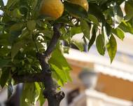 A photo of Lemon Tree