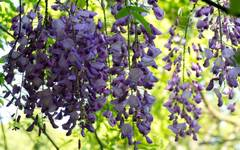 Wisteria Pruning: Candide Community Question Answered