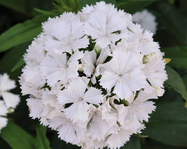 A picture of a Dianthus 'Dash White'