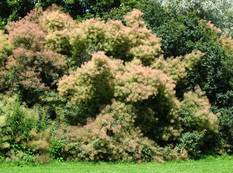 A group of Cotinus coggygria bushes in flower