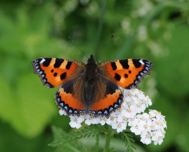 A close up shot of a Aglais urticae small tortoiseshell butterfly on a flower