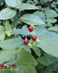 A photo of Chokeberry