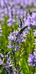 A photo of Camassia