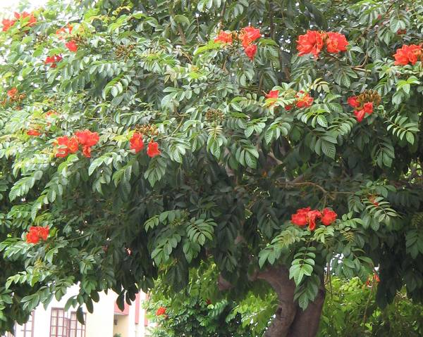 A picture of a African tulip tree