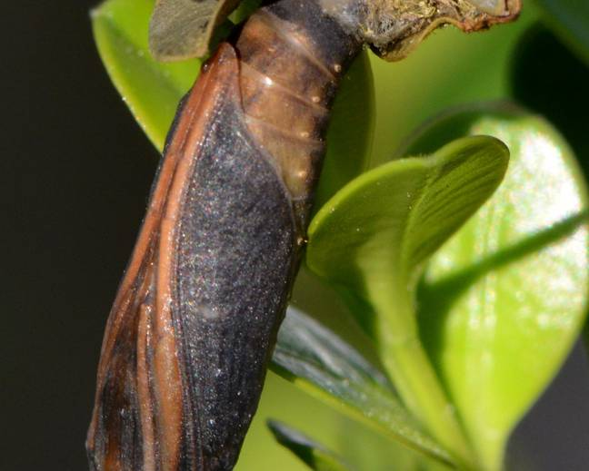 A Cydalima perspectalis Box Tree Moth Cocoon