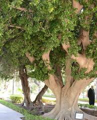 A photo of Laurel Fig