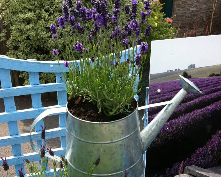 A lavender plant growing in a watering can