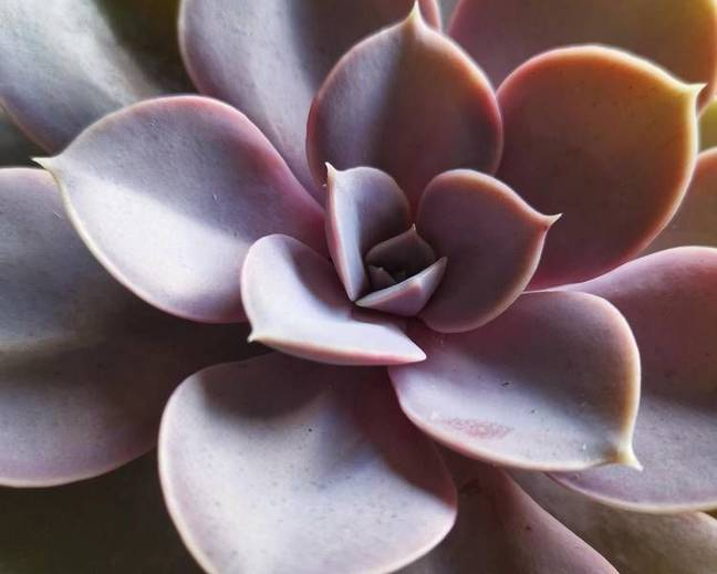 A close up of a pink Echeveria ' Perle von Nurnberg' plant
