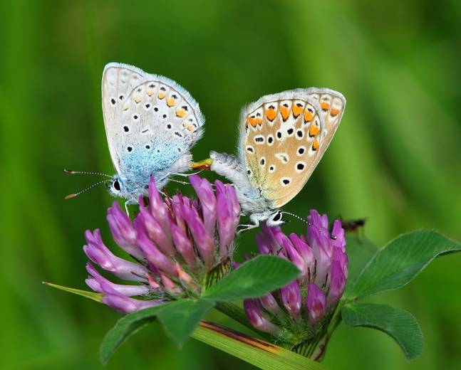 Two mating Polyommatus icarus common blue butterflies