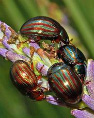 A photo of Rosemary Beetle