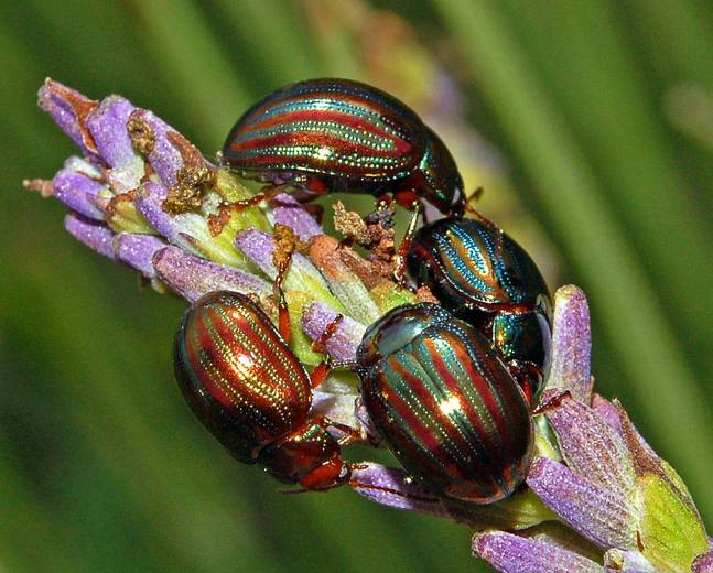 A group of colorful Chrysolina americana rosemary beetles on a flower