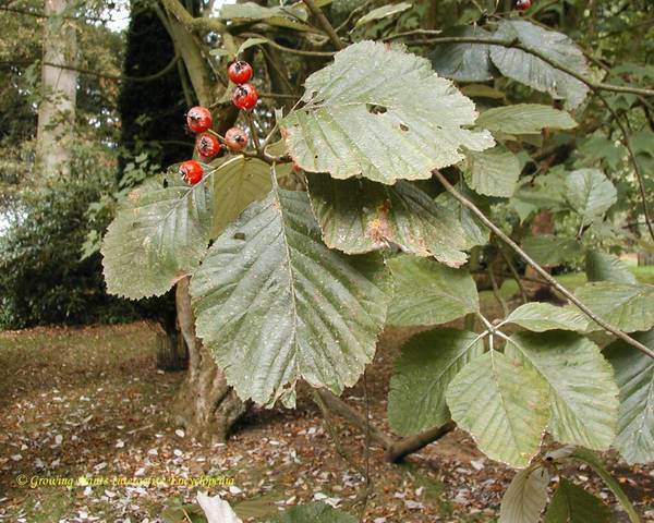 A picture of a Sorbus cyclophylla
