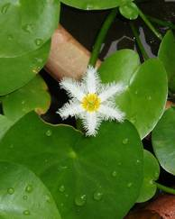 A photo of Nymphoides