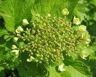 A photo of Guelder Rose