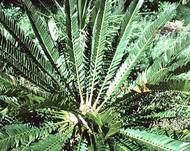 A photo of Thunberg Cycad