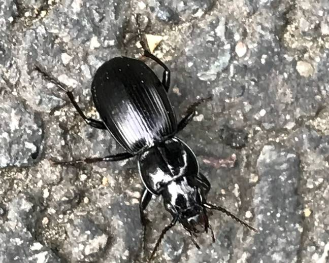 A close up image of a black clock ground beetle Black Clock Pterostichus madidus on the ground