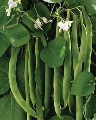 A photo of Runner Bean 'White Lady'