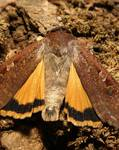 A photo of Large Yellow Underwing