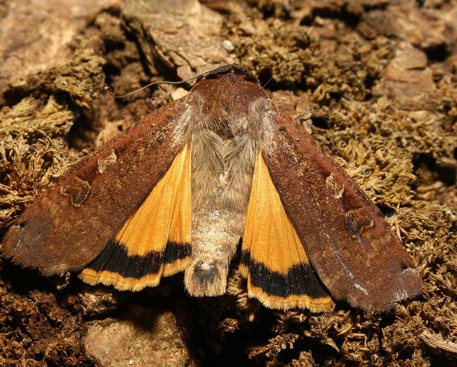 A close up image of a European Yellow Underwing Moth Noctua pronuba against tree bark