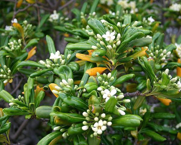 A picture of a Japanese Pittosporum