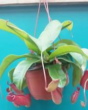 Carnivorous Nepenthes Plant. Nepenthes Bloody Mary rare 14 cm large plant