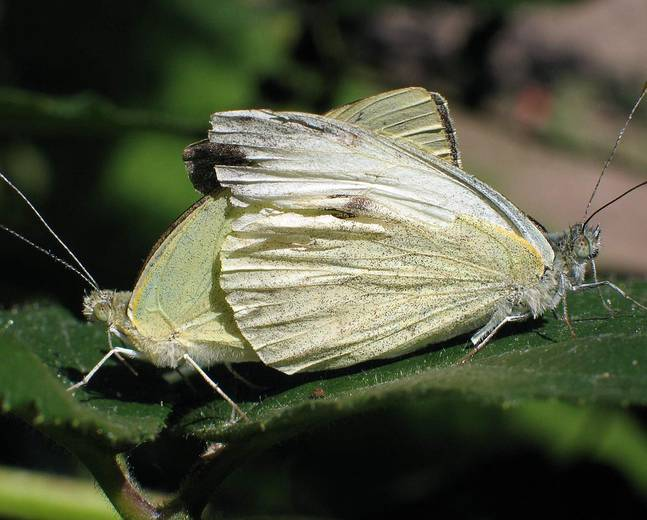 A close up image of two large white butterfly caterpillar Pieris brassicae mating on a green leaf