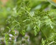 A photo of Chervil