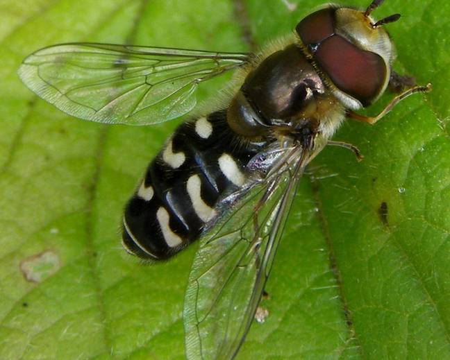 A hoverfly insect on a green leaf