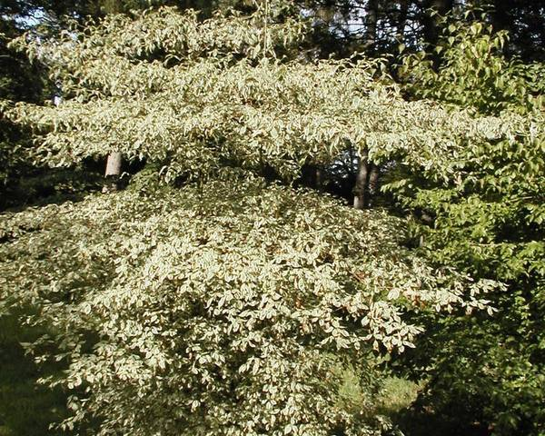 A picture of a Pagoda dogwood