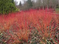 Some bright red Cornus sanguinea 'Anny's Winter Orange'