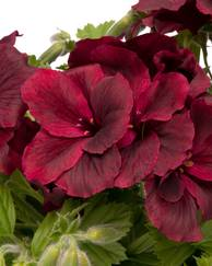 A photo of Pelargonium 'Regal Aristo Schoko'