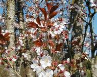 A photo of Japanese Flowering Cherry 'Spire